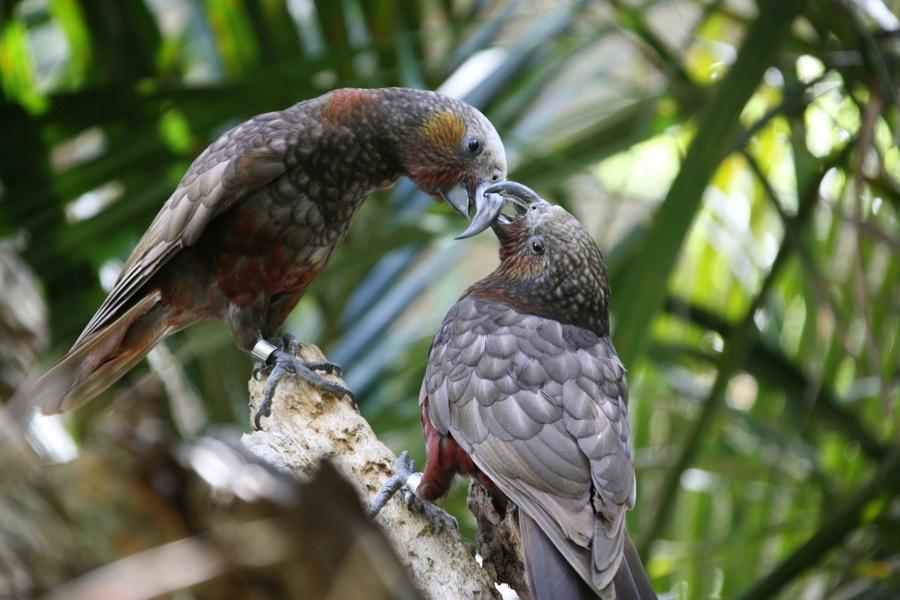 Native NZ parrot, the Kaka