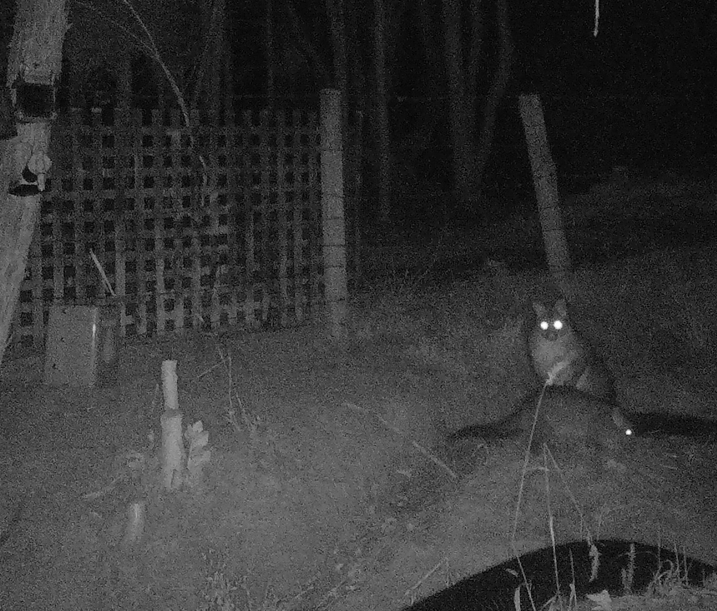 Possums caught by Cacophonometer camera with infrared lighting at night.