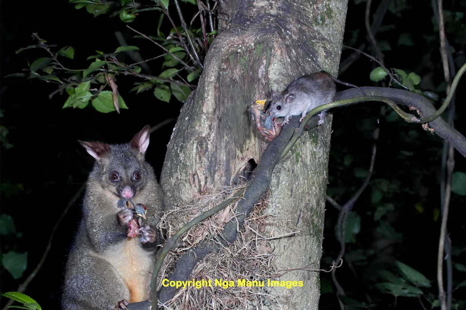Introduced possum and rat eating native NZ bird chicks. Image source: http://www.ngamanuimages.org.nz/image.php?image_id=459
